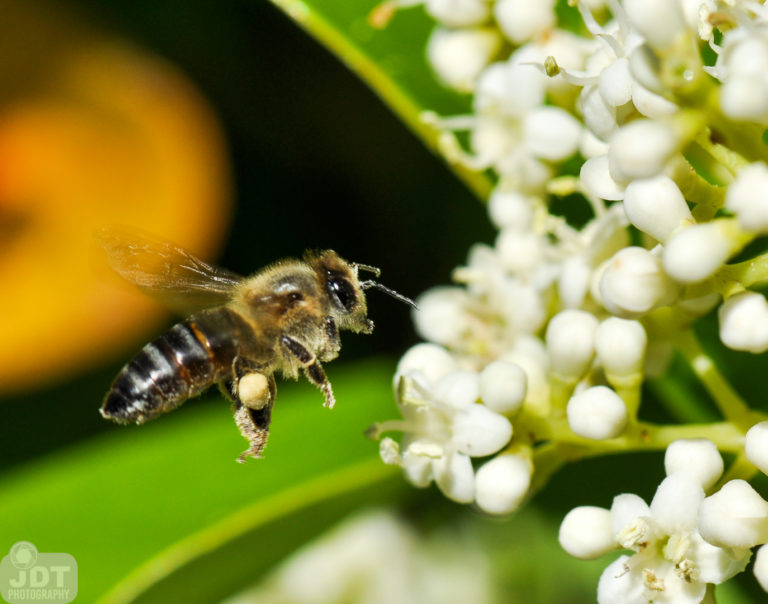 Honeybee gathering pollen and nectar from a white flower.