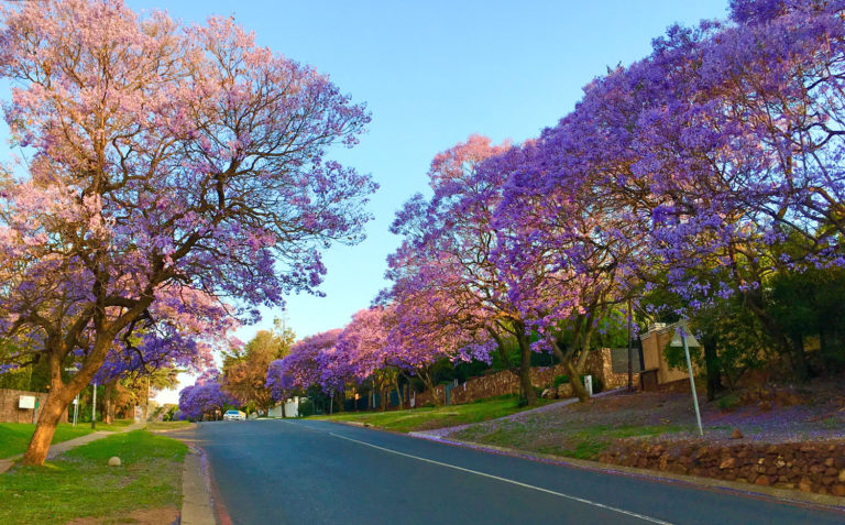 Blooming Jacarandas lining a street in the late afternoon.