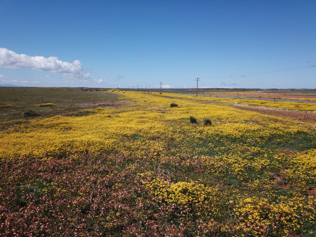 Pink and yellow veld flowers next to a road in the Karoo - drone photography