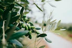 Olive leaf tree