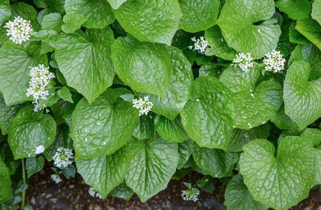 Wasabi plants in flower