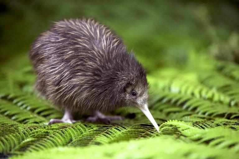 Brown Kiwi chick.