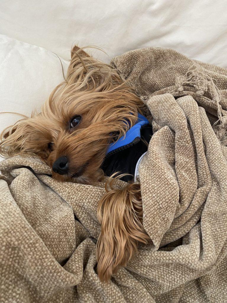 Yorkie falling asleep - rest activity